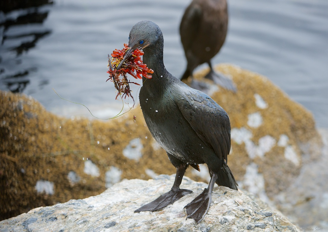 Monterey cormorants 24 - Version 2.jpg