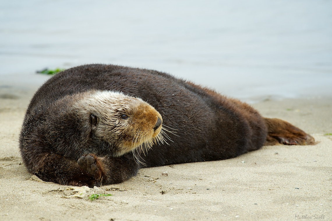 Moss Landing Otter 83 - Version 2.jpg