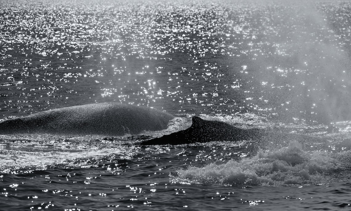 Humpbacks, Monterey Bay
