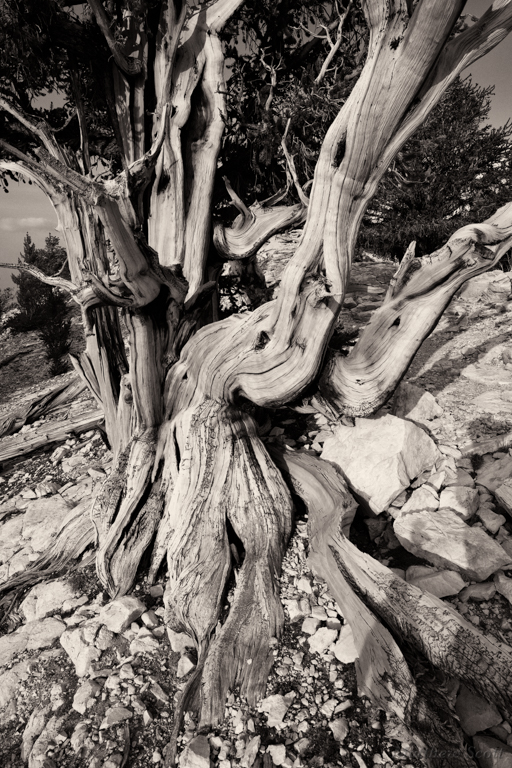 Ancient Bristlecone Pine, White Mtns, California